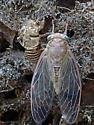 Newly Emerged Cicada - Neocicada hieroglyphica