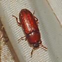 Beetle 08-03-2009 025 - Uloma punctulata