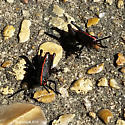 Romalea microptera (Beauvois) nymphs - Romalea microptera