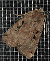 Mystery Moth-4 - Xestia normanianus