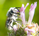 small White-haired bee - Andrena wilkella - male