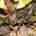 Grasshopper - Tettigidea lateralis - female