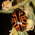 Genus Zygogramma? - Calligrapha serpentina