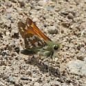 is this Carterocephalus palaemon ?