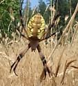 Yellow-Brown Spider - Argiope aurantia