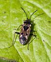 True Bug - Rhyparochromus vulgaris