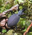 Carabid Beetle (Scaphinotus angusticollis olympiae) - Scaphinotus angusticollis