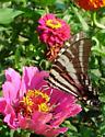 Eurytides marcellus - Zebra Swallowtail - Eurytides marcellus