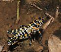 Beautiful Rainbow Grasshopper, lateral - Dactylotum bicolor
