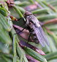 Cluster Fly - Pollenia - female
