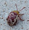 Sumac Flee Beetle? - Blepharida rhois