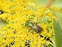 Sweat Bee (Augochloropsis metallica)  ?? - Agapostemon sericeus