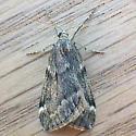 Fall Cankerworm Moth (Alsophila pometaria)  - Alsophila pometaria