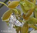 Moth ID? - Elophila