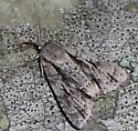 lots of dashes Dagger - Acronicta hasta