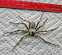 Large, gray banded spider - Dolomedes albineus