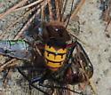 Wasp sp. killing a Dwamp Darner. - Vespa crabro