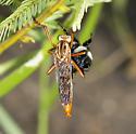 robber fly - Diogmites crudelis