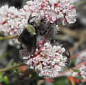 Bombus and long-horned bee - Bombus
