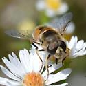 Hoverfly - Eristalis arbustorum