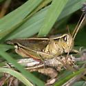 Melanopline with fecal pellet - Melanoplus bivittatus