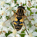 Syrphid Fly - Helophilus neoaffinis - female