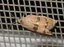 Tan and gold moth - Cydia latiferreana