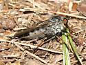 Robber Fly - Neoitamus orphne - female