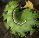 Prickly Catepillar - Automeris io
