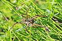 Wolf Spider - Tigrosa
