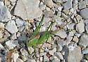 Grasshopper Species? - Conocephalus strictus - female
