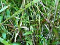 Phantom Cranefly - Bittacomorpha clavipes - male - female