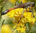 Large Ammophila - Ammophila - female