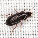Ground Beetle - Selenophorus opalinus