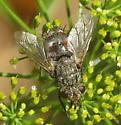 Tachinid - Peleteria - female