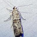 Another Anadelosemia? - Zamagiria australella