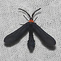 Grapeleaf Skeletonizer - Hodges#4624 - Harrisina americana