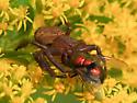 Ground Crab Spider? - Xysticus