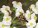 9047623 moth - Thyris maculata