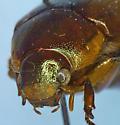 Anomala marginata Fabr. - Callistethus marginatus