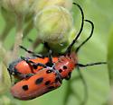 Red Milkweed Beetle - Tetraopes tetrophthalmus - male - female