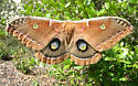 Florida Polyphemus - Antheraea polyphemus - female