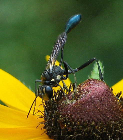 Thread-waisted Wasp, a black wasp with white spots - Eremnophila aureonotata