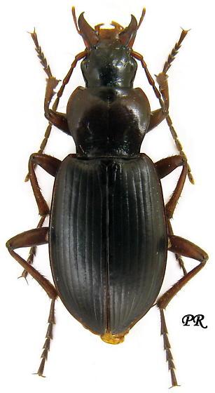 Laemostenus terricola - female