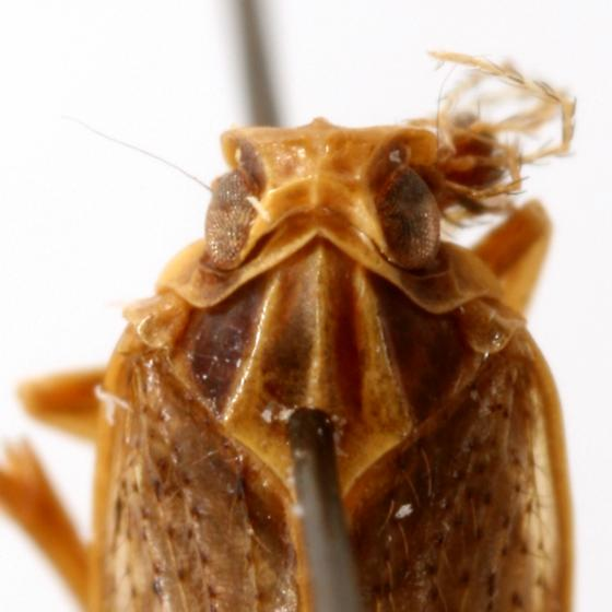 Monorachis sordulentus Uhler - Monorachis sordulentus