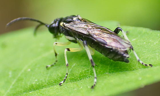 Possible Sawfly?