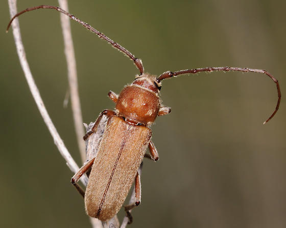 Unknown Brown Bug - Crossidius humeralis