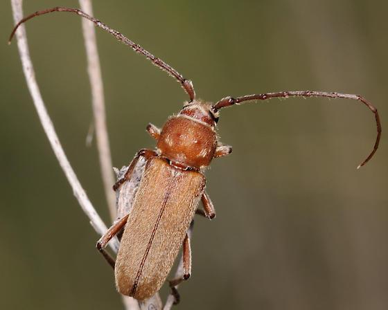 Unknown Brown Bug - Crossidius humeralis
