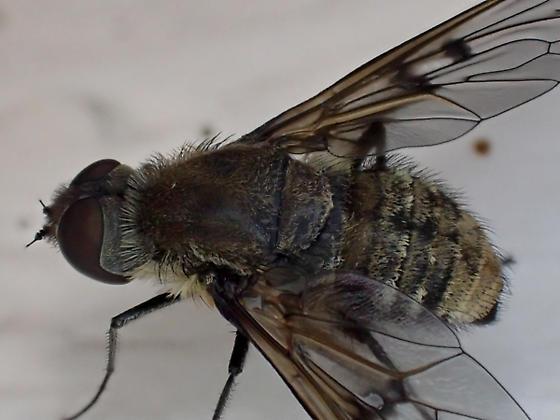 fly - Anthrax larrea