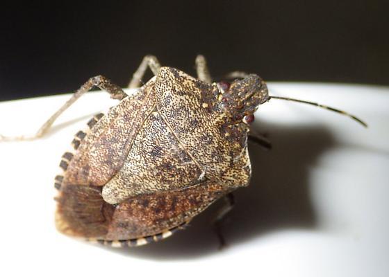 Halyomorpha halys - Brown Marmorated Stink Bug - Halyomorpha halys